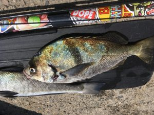sargo and corbina spearfishing in malibu