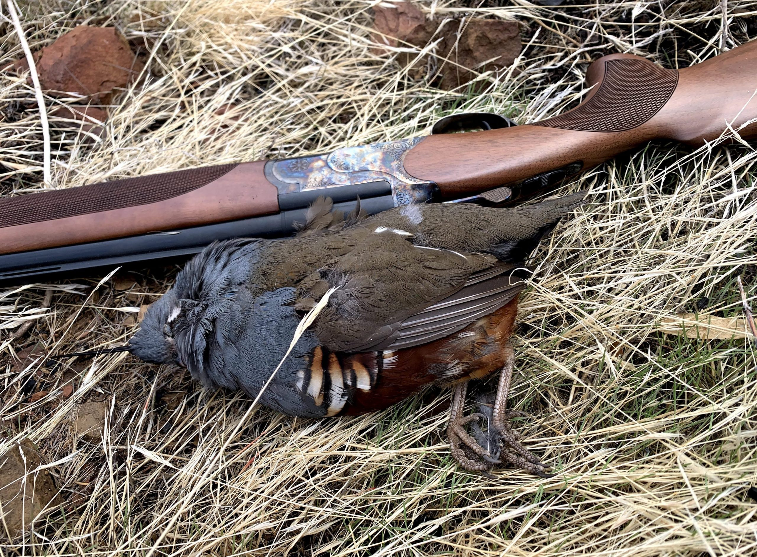 cz woodcock g2 hunting mountain quail